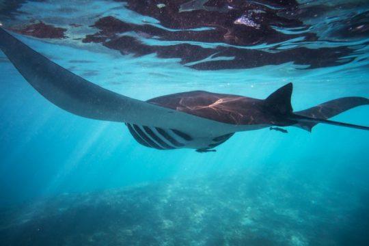 Manta Ray snorkeling trip