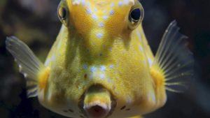 puffer fish lembongan snorkeling