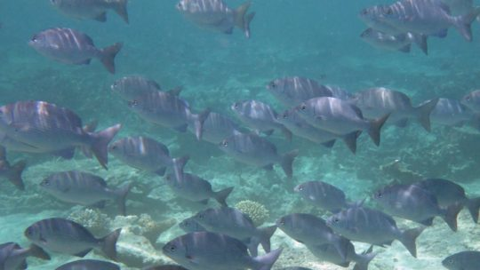 school-of-fish-while-snorkeling-in-lembongan