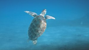 turtle snorkeling in nusa lembongan